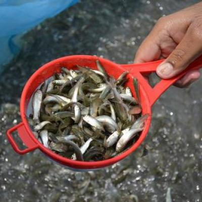 Big Head Fish Seed at Water Kingdom Aqua and Pet Store in Kothamangalam