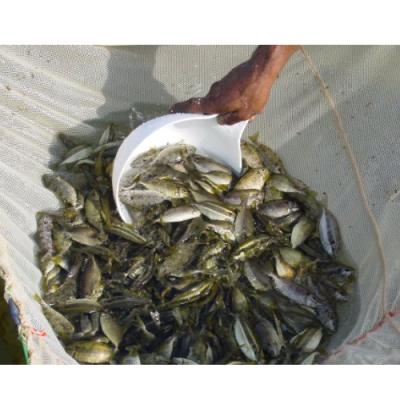 Paplet Fish at Water Kingdom Aqua and Pet Store in Kothamangalam