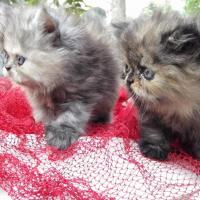 Persian Cat Breeders in Jammu And Kashmir | India