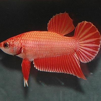 Plakat Betta Fish at Water Kingdom Aqua and Pet Store in Kothamangalam