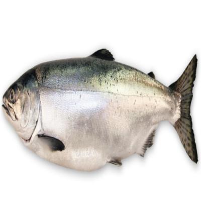 Salmon Fish at Water Kingdom Aqua and Pet Store in Kothamangalam