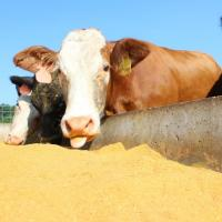 ddgs products for cows at DDGS Products in Gurgaon