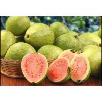 Fresh Guava at Rana Fruit Company in New Delhi