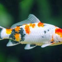Aquarium Fishes at Fish World Aquarium & Pets in Attingal